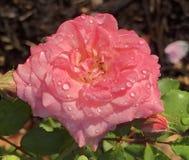 Waterdropped Rose Imagen de archivo libre de regalías