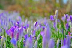 Waterdropplets em flores azuis açafrão Fotografia de Stock Royalty Free