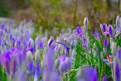 Waterdropplets em flores azuis açafrão Imagens de Stock Royalty Free