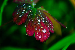 Waterdrops на красных лист Стоковое Изображение RF