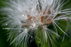 waterdrops одуванчика Стоковая Фотография