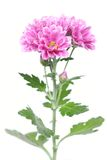 waterdrops цветков розовые Стоковые Фото