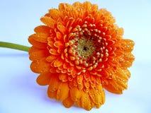 Waterdrops alaranjados da flor do gerbera fotografia de stock royalty free