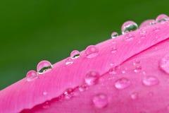 Waterdrops auf der rosafarbenen Knospe der Tulpe Lizenzfreies Stockbild