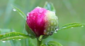 waterdrops auf einer roten Blume Stockbilder
