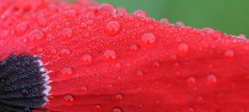 Waterdrops auf roter Blume, Makro Stockfotografie