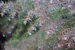 Waterdrops auf Tannenbaum Lizenzfreies Stockfoto