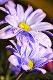 Waterdrops on Daisies. Macro shot of waterdrops on blue daisies Stock Photos