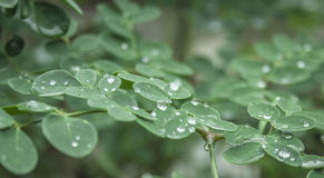 WaterDrops em minhas pétalas Imagens de Stock Royalty Free