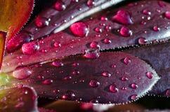 Waterdrops em uma planta carnuda Foto de Stock Royalty Free