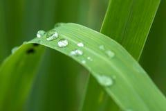 waterdrops en Cymbopogon Foto de archivo libre de regalías