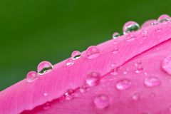 Waterdrops en el brote del tulipán rosado Imagen de archivo libre de regalías