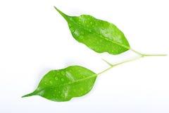 Waterdrops en hojas verdes Fotografía de archivo libre de regalías