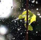 Waterdrops en una uva se va Imágenes de archivo libres de regalías
