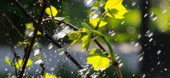 Waterdrops en una uva se va Imagenes de archivo