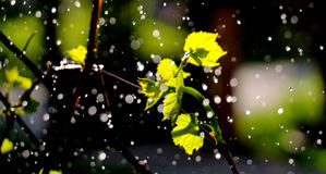 Waterdrops en una uva se va Foto de archivo libre de regalías