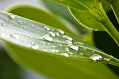 Waterdrops on a leaf. Selective focus on one drop Royalty Free Stock Images