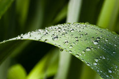 Waterdrops on a leaf Royalty Free Stock Image