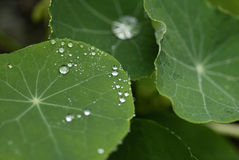 Waterdrops on Leaves. Of Nasturtium Stock Photo