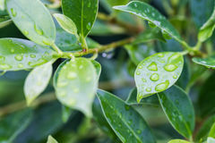Waterdrops on leaves Stock Images
