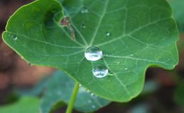 Waterdrops on leaves. A plant after a rain with waterdrops Royalty Free Stock Photo