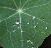 Waterdrops on leaves. A plant after a rain with waterdrops Royalty Free Stock Photography