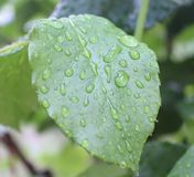 Waterdrops on leaves. A plant after a rain with waterdrops Stock Image