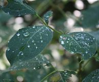 Waterdrops on leaves stock photography