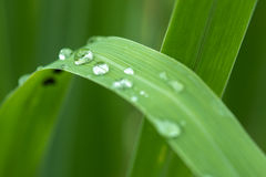 Waterdrops on lemongrass. Royalty Free Stock Photo