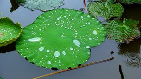 Waterdrops on a lily pad on a rainy day in a buddhistic garden in Vietnam stock images