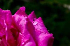 waterdrops macro na pétala cor-de-rosa cor-de-rosa Imagens de Stock Royalty Free