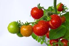 Waterdrops na czereśniowych pomidorach zdjęcie royalty free