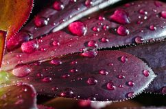Waterdrops na sukulencie Zdjęcie Royalty Free