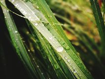 Waterdrops na trawie Obraz Royalty Free
