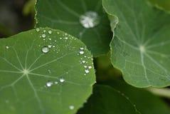Waterdrops op Bladeren Stock Foto