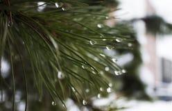 Waterdrops op pijnboomboom Royalty-vrije Stock Foto
