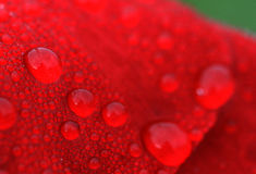 Waterdrops op rode bloem, macro Stock Afbeeldingen
