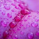 Waterdrops på dagdrömmarelilja Royaltyfri Fotografi