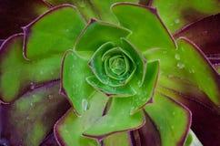 Waterdrops på en suckulent Royaltyfri Bild