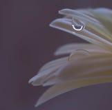 Waterdrops på tusensköna fotografering för bildbyråer