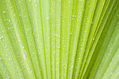 Waterdrops on palm. Waterdrops on the leaf of a tropical palm tree. Brazil stock photos