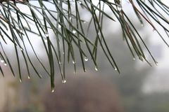 Waterdrops. A pine-wood after a rain with waterdrops Stock Photos