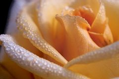 Waterdrops on the rose. Extreme close-up of a beautiful rose with waterdrops Stock Photos