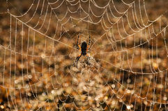 Waterdrops on a spider web. Brilliant display of early morning sunlight in waterdrops on a spider web after a heavy fog royalty free stock image