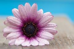 Waterdrops su un fiore della gerbera Immagine Stock Libera da Diritti