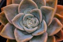 Waterdrops su una rosa del deserto Immagini Stock Libere da Diritti