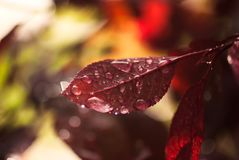 Red Leaf with Waterdrops. Waterdrops from a summer rain rest on the red leaf of a rose bush royalty free stock photography