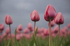 Waterdrops sur des tulipes Images libres de droits