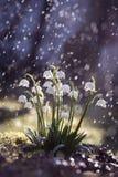 Waterdruppeltjes die op de bloemen van de de lentesneeuwvlok in zonneschijn vallen Royalty-vrije Stock Foto