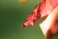 Waterdruppeltjes op bloemblaadje Stock Foto's